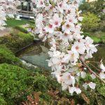 毛利公園の桜